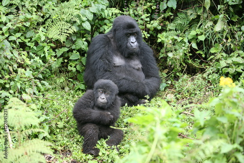 Wild Gorilla animal Rwanda Africa tropical Forest Poster