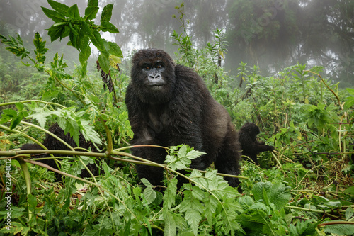 Poster Female mountain gorilla observing tourists in the forest