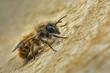 Male Osmia bicornis Red Mason Bee