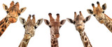 Giraffe heads isolated on white background - 122917828