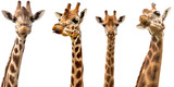 Giraffes isolated on white background - 122917842