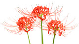 Red spider lily flowers, or Lycoris radiata, isolated on white background