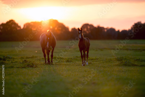 Mother horse with foal on farm land at sunset. Geesteren. Achter