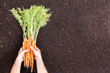 Male hands holding bunches of raw carrots