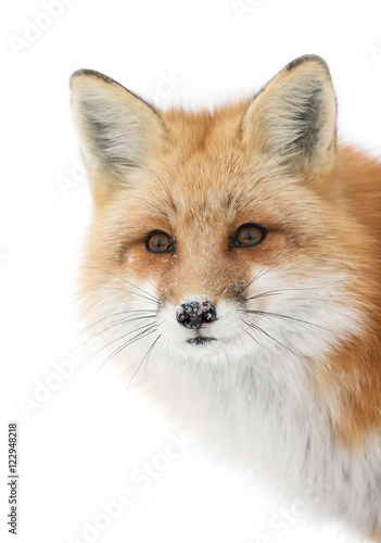 A Red fox (Vulpes vulpes) with a bushy tail isolated against a white background closeup in the winter snow in Algonquin Park, Canada - 122948218