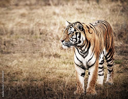 Papiers peints Hyène Tiger