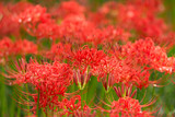 cluster amaryllis(grow in colonies)