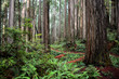 Coastal Redwoods in Jedediah Smith State Park