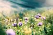 Beautiful purple poppy flowers in meadow lit by sun rays
