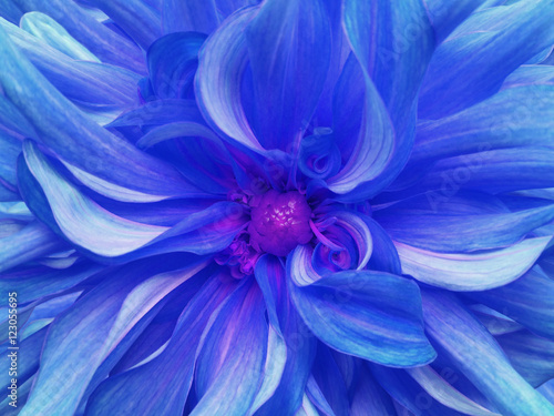 blue excellent chrysanthemum flower. Closeup.Macro. Nature. Garden.