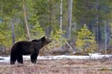 Brown bear in the taiga