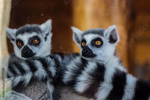 Poster Close-up of ring-tailed lemur (Lemur catta)