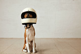 Sitting basenji dog wearing a huge white motorcycle helmet in a room with white walls and light wooden floors - Fine Art prints