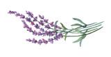 Fototapety Lavender flowers. Watercolor illustration on white background.