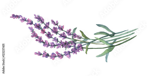 Lavender flowers. Watercolor illustration on white background.