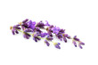 Lavender flowers isolated.