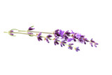 Lavender flowers isolated. - 123243292