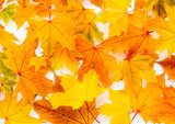 Wilted Autumn Chestnut Leaves Background in vibrant Colors.