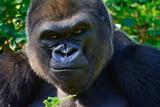 Male Silverback Western Lowland gorilla - 123293816