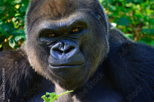 Male Silverback Western Lowland gorilla Poster