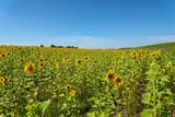 sunflowers field flowers sky