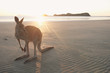 Wallaby am Strand auf Cape Hillsborough, Queensland in Australien