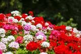 Geranium flowerbed