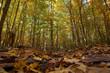 Quebec forest in autumn