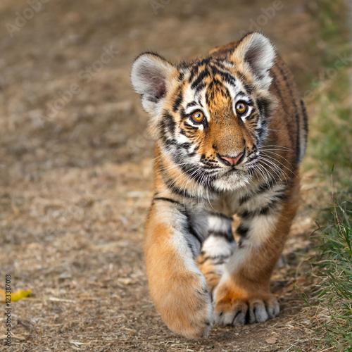 Zdjęcia na płótnie, fototapety na wymiar, obrazy na ścianę : Tiger cub portrait. Tiger playing around (Panthera tigris)