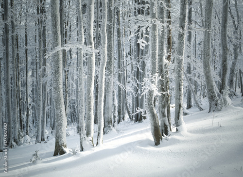 Lovely winter season sunny beech forest landscape with deep snow. Winter season woodland background.