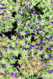 Blue flower, Butterfly pea - Clitoria ternatea L., with green leaf background