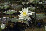 Mexican waterlily flowered in the middle of the lake