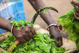 Woman cutting green leaves for a salad with a sickle in an indigenous Adivasi village in Jharkhand, India - 123407670