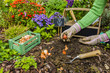 The gardener planted bulbs of flowers to the ground. Work in the garden. - 123417244
