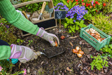 The gardener planted bulbs of flowers to the ground. Work in the garden. - 123417229