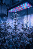 Amsterdam, coltivazione indoor marijuana