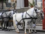 I cavalli addobbati per la festa