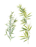 Watercolor illustration of bamboo leaves , on white background - 123446610