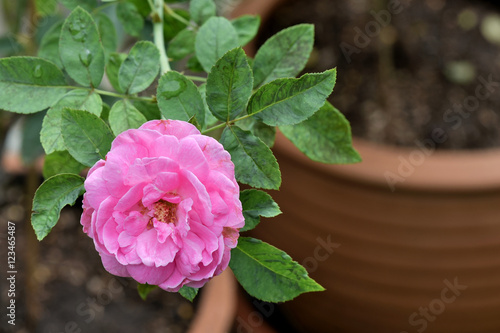 Poster, Tablou Pink rose