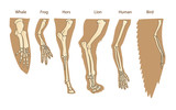 Structure Forelimb Of Mammals. Human Arm. Lion Forelimb. Whale Front Flipper. Bird Wing. Historical Illustrations. Isolated Vector. Evolution. The General Development Of The Limbs.