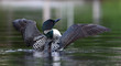 Common loon spreads her wings in the morning in Canada