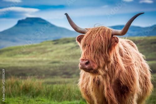 Poster Furry highland cow in Isle of Skye, Scotland