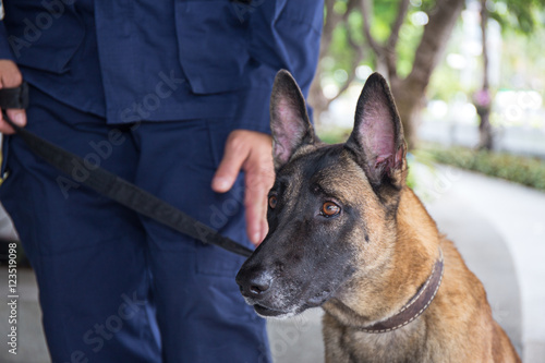 Poster k-9 young german shepherd dog stand beside trainer