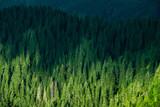 Ukrainian Carpathian forest-tree top view