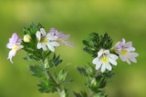 Eyebright, Euphrasia stricta, medinal herb