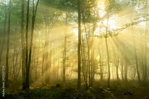 Fotobehang Bos in mist Forest of Deciduous Trees Illuminated by Sunbeams through Fog