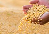 Soya bean seed in hands of farmer