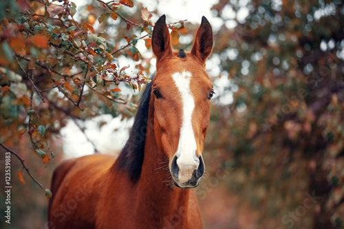 Portrait of a bay Hanoverian horse