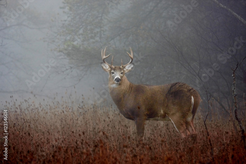 White-tailed deer buck with huge neck in the forest fog