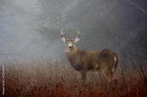 Aluminium Hert White-tailed deer buck with huge neck in the forest fog